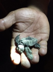 Baby Turtle at La Flor Photograph by Audrey Zanzucchi