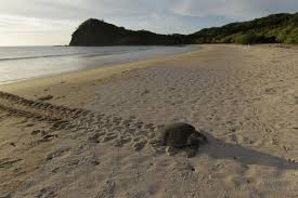 Mama Turtle  Courtesy of 3news.co.nz
